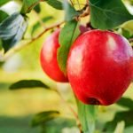 jabłka - ile mają kalorii